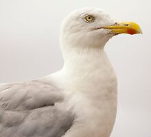 Seagull by Hepis
