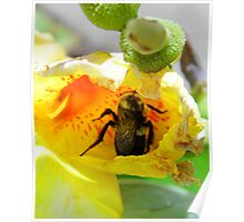 Bee In The Canna Bloom Poster
