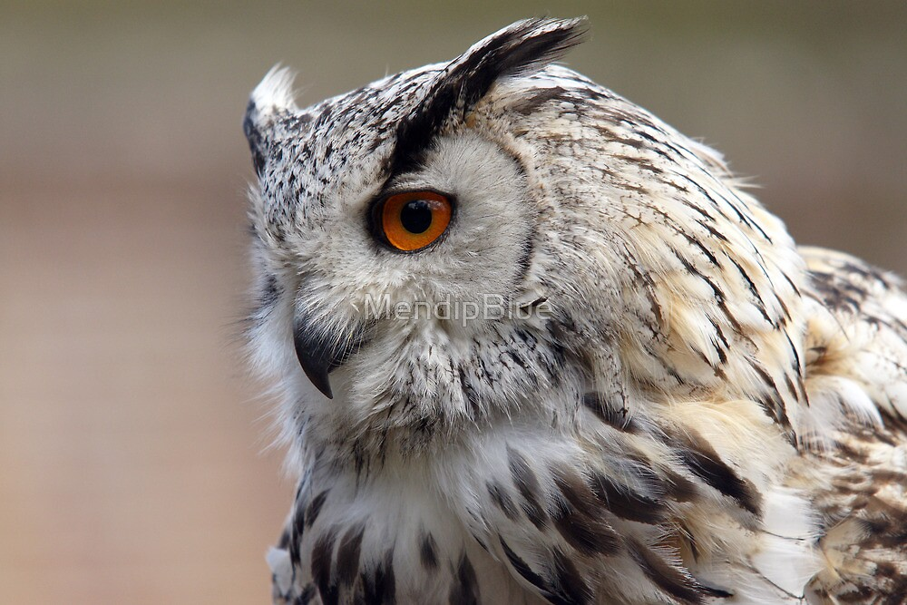 Siberian Eagle Owl by MendipBlue