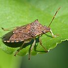 Stink Bug by William Brennan