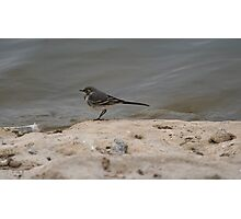 Pied Wagtail.. Photographic Print