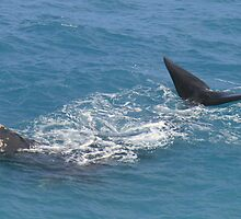 Whales at head of Bight, 2013. by elphonline
