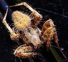 Running Crab Spider-(Philodromus spp) by Thomas Eggert
