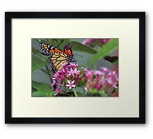 Monarch in pink ixora Framed Print