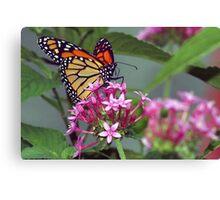 Monarch in pink ixora Canvas Print