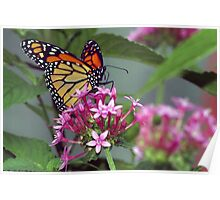 Monarch in pink ixora Poster