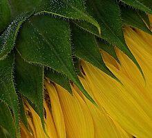 Sunflower I: Prickly by Victoria Jostes