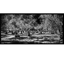 Grecian Olive Grove Photographic Print