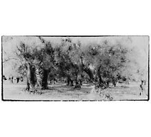 Vintage grecian olive grove Photographic Print
