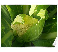 Broccolo - brassica oleracea Poster