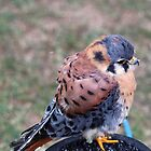 The American Kestral by Theresa Selley