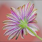 Candy Striped daisy by Helenvandy
