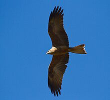 Fork-tailed Kite by byronbackyard