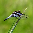 Blue winged Dragonfly  - Isalo Madagascar by john  Lenagan