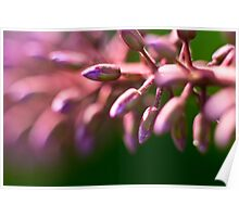 Purple and pink buddleia buds macro Poster
