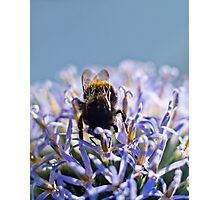 Bee on blue headed thistle Photographic Print