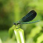 Blue Dragonfly  by Lavanda