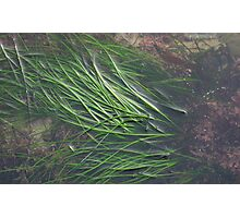 EAL GRASSES Photographic Print