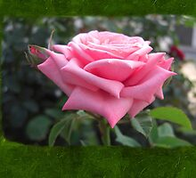 Pink Roses in Anzures 6 Blank P1F0 by Christopher Johnson