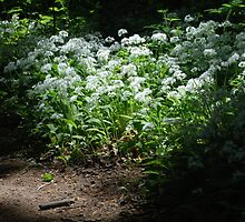 Wild Garlic by Matthew Duckworth