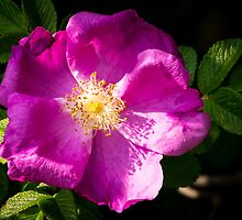 Rosehip Flower by Ralph Goldsmith