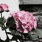 Hortensia in an old Garden by brijo