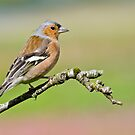 Chaffinch by Margaret S Sweeny