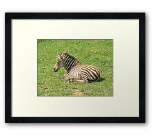 Wee Little Zebra ~ Framed Print