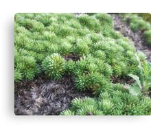 Dying Plant  Canvas Print