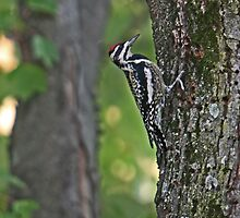 Woodpecker by Lisa G. Putman