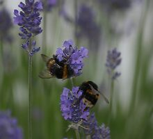 Bumble Bees by tanyadann