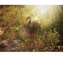 Peafowl Photographic Print