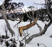 Snow gum III by geophotographic