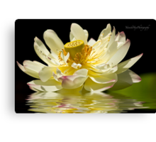 Lotus in Full Bloom Canvas Print
