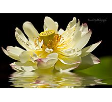 Lotus in Full Bloom Photographic Print