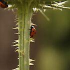 ladybug, ladybird by Lavanda