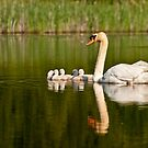 Mute Swan and Babies by Michael Cummings