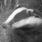 Badger by Gill Langridge