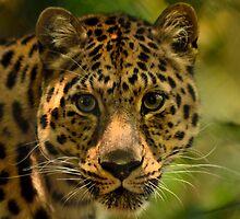 Amoerpanter / Amur leopard by MaartenMR