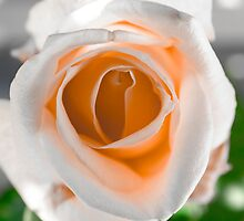 White N Orange Rose by Sotiris Filippou