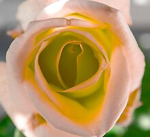 Pink and Orange Rose by Sotiris Filippou
