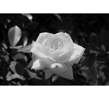 White Rose Photographic Print