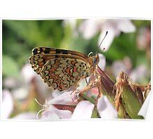 Knapweed Fritillary Butterfly, Rila Mountains, Bulgaria Poster