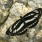 Common Glider Butterfly, Rila Mountains, Bulgaria by Michael Field