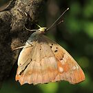 Lesser Purple Emperor butterfly on branches, Rila Mountains, Bulgaria by Michael Field