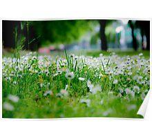 Little White Flowers Poster