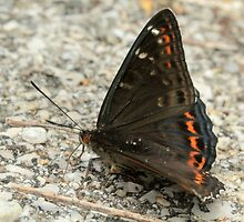 Poplar Admiral Butterfly (with water droplets), Rila Mountains, Bulgaria by Michael Field