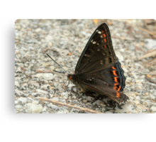 Poplar Admiral Butterfly (with water droplets), Rila Mountains, Bulgaria Canvas Print