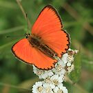 Scarce Copper Butterfly, Rila Mountains, Bulgaria by Michael Field