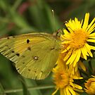 Clouded Yellow Butterfly on yellow wildflowers, Rila Mountain, Bulgaria by Michael Field